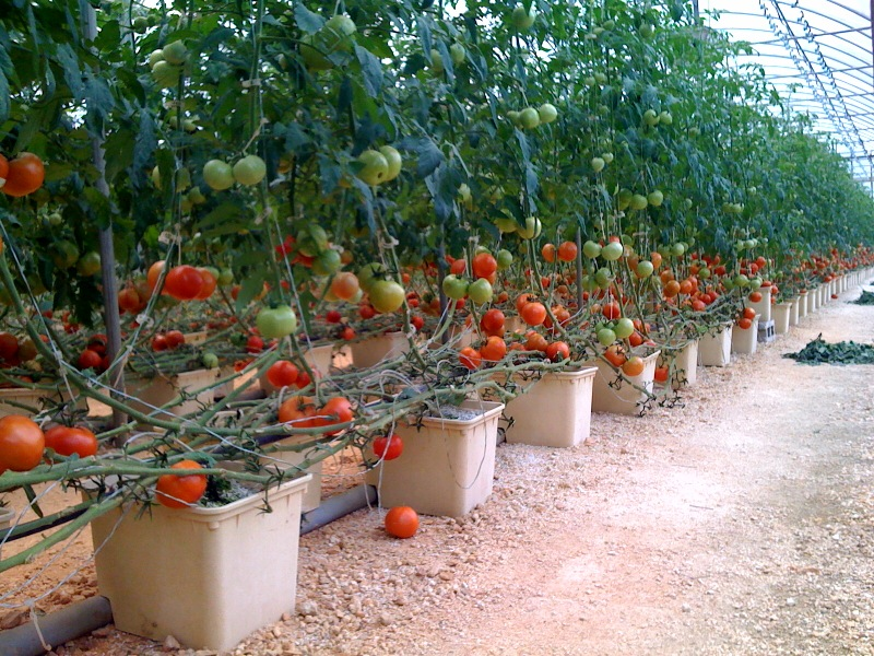 GREENHOUSE FARMING: A Growing Trend - Isratech Jamaica Limited